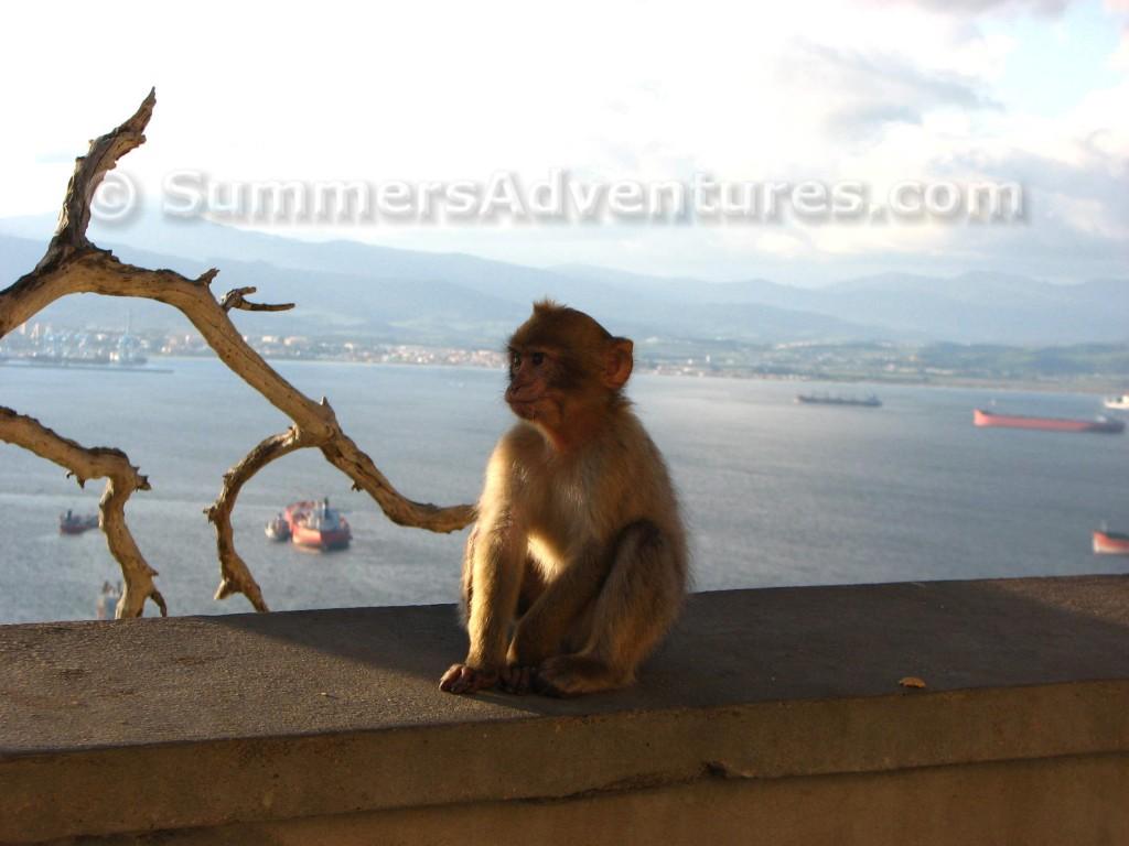 gibraltar baby monkey