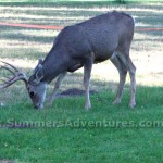 deer wallowa